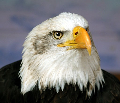 Bald eagle head.