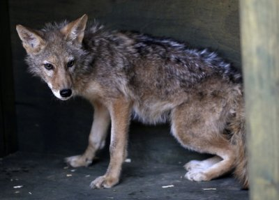 A coyote cloned by South Korean stem cell scientist Hwang and his team is pictured on a farm at a wildlife protection centre in Pyeongtaek
