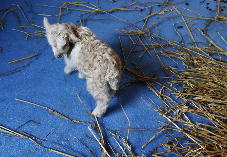 Noori, a cloned Pashmina goat walks inside enclosure at SKUAST in Shuhama