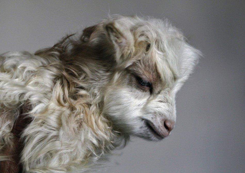 Noori, a cloned Pashmina goat, is seen at SKUAST, in Shuhama
