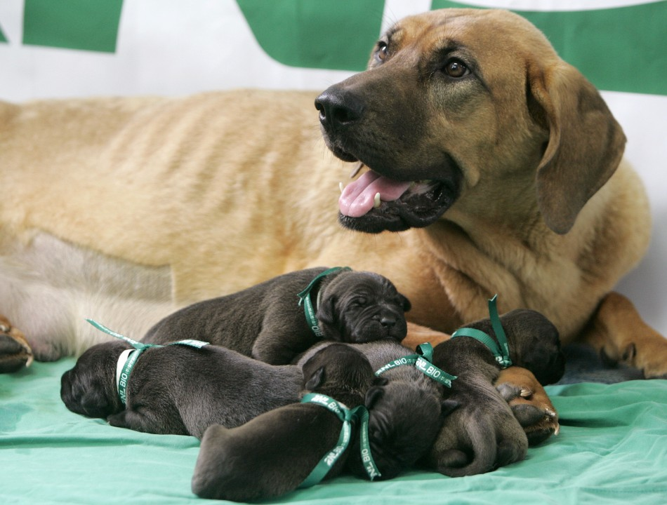 Five cloned puppies are seen with one of their surrogate mother dogs at the Seoul National University Hospital for Animals
