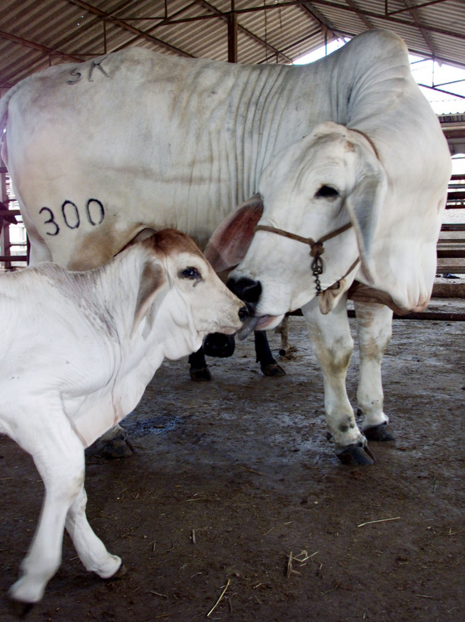 THE FIRST CLONED CALF IN THAILAND IS LICKED BY ITS FULLY GROWN GENETIC TWIN IN CHONBURI PROVINCE.
