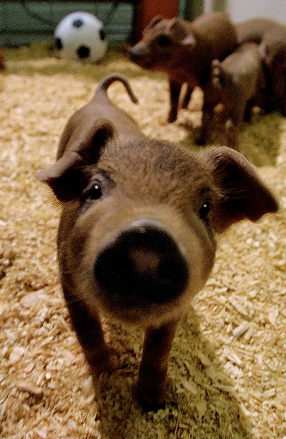 CLONED PIGLETS, BOER GOAT AND CATTLE ON DISPLAY AS TEXAS AM UNIVERSITY BECOMES FIRST ACADEMIC INSTITUTION TO CLONE THREE SPECIES.