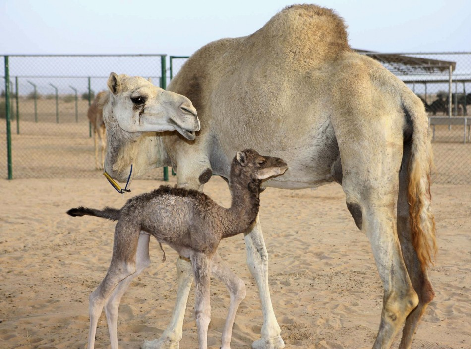 The worlds first cloned camel, Injaz front, is seen at the Camel Reproduction Centre in Dubai