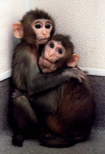 Twin baby monkeys born from cloned embryos clutch each other at the Oregon Regional Primate Research..