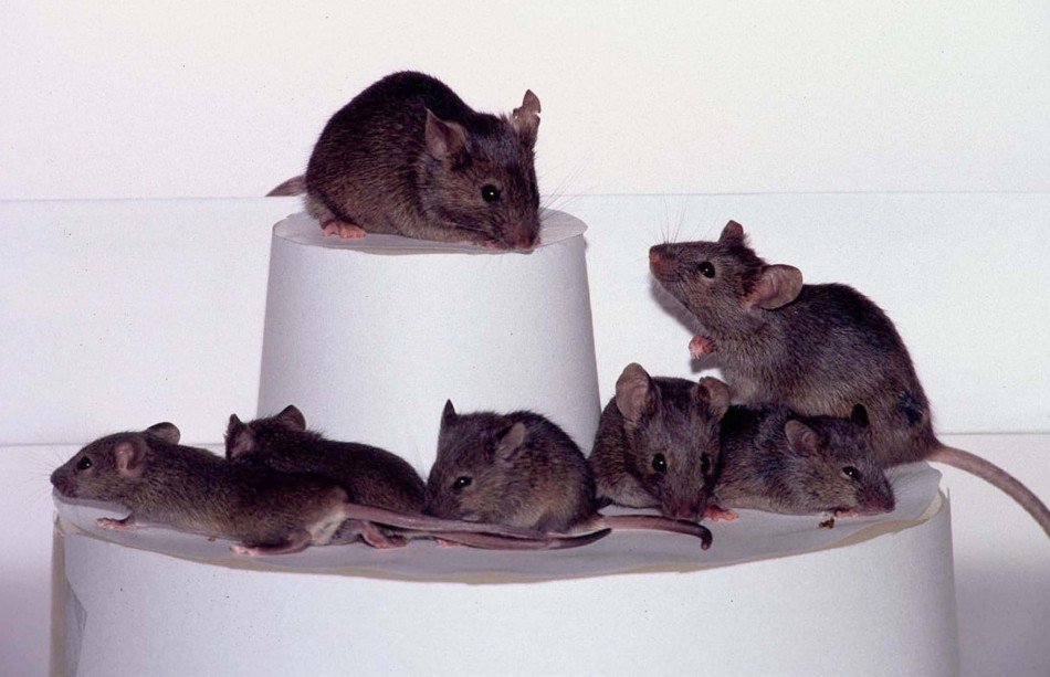 An international team said July 22 it had cloned not one mouse, but dozens, from adult mice. Ryuzo ..