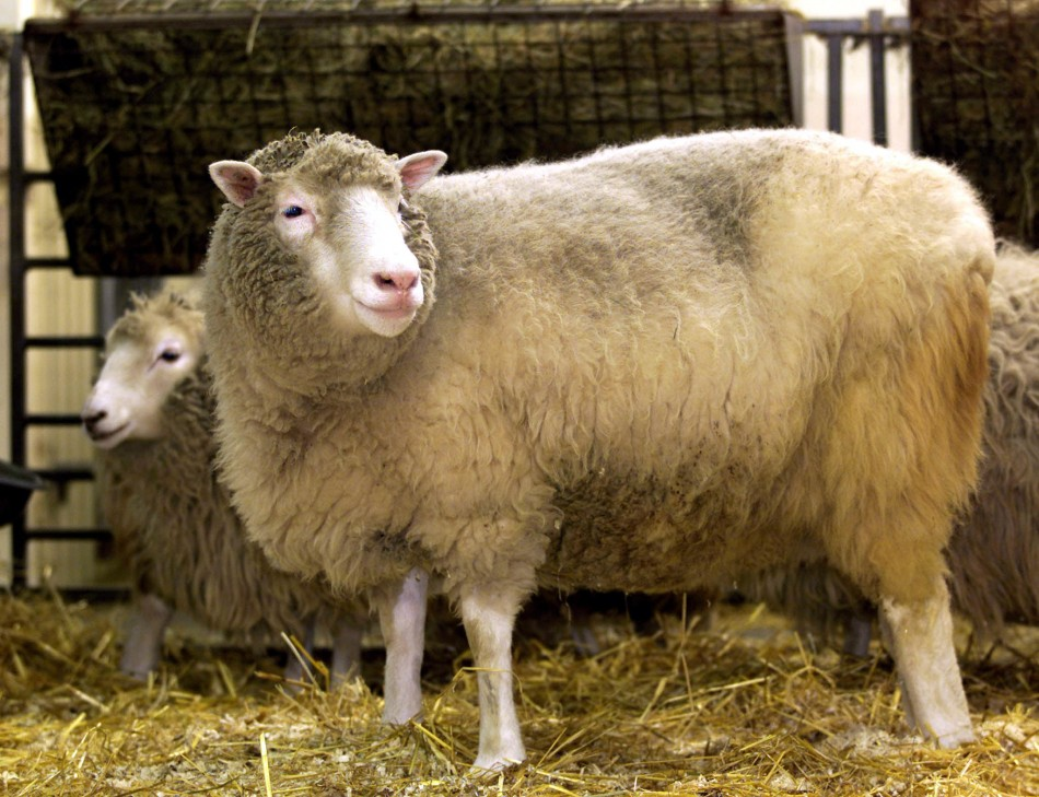 The world's first clone of an adult animal, Dolly the sheep, bleats at photographers during a photocall at the Roslin Institute