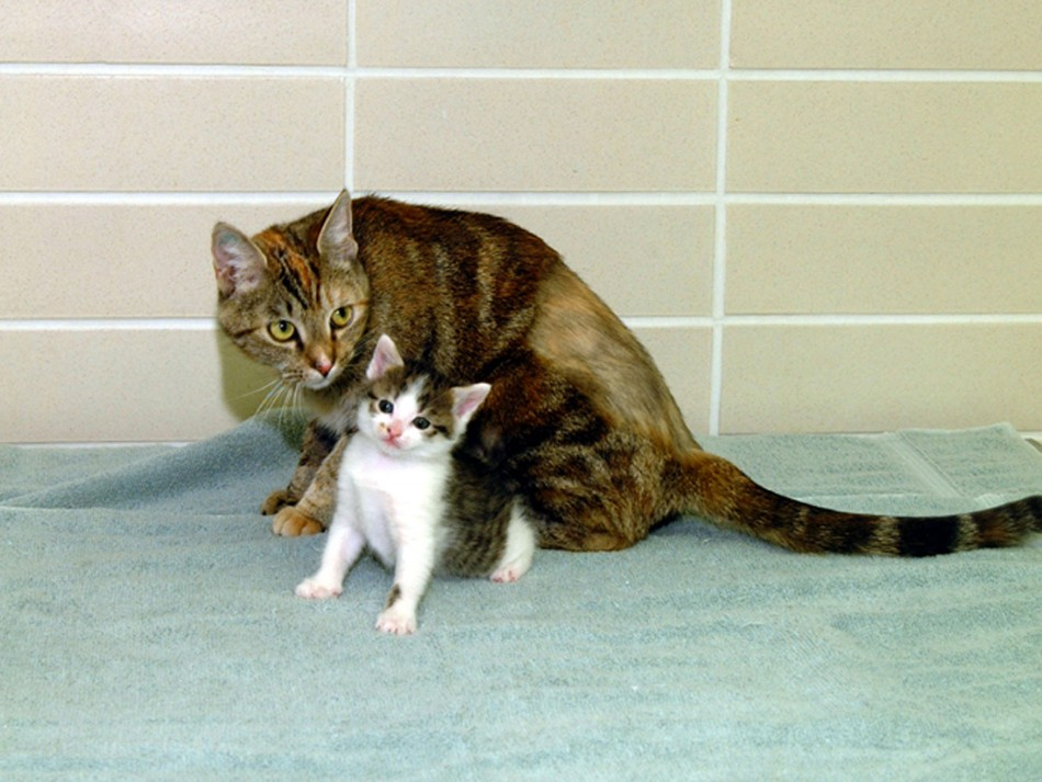 The worlds first-ever cloned cat, called quotCC