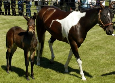 The first successful equine clone in the world