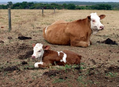 Gloria, the first baby cow of cloned cow Vitoria R, is seen on a government farm outside Brasilia