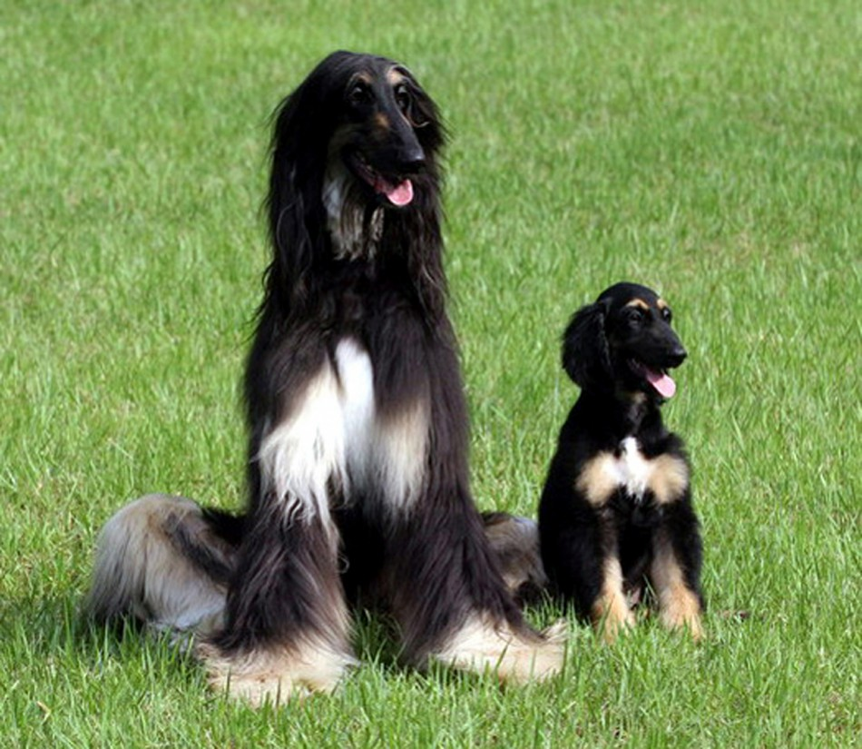 The first male dog cloned