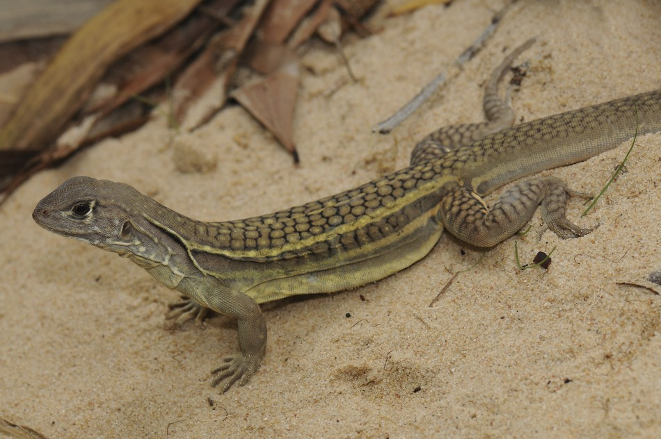 Now Lizards Trained For Space Travel