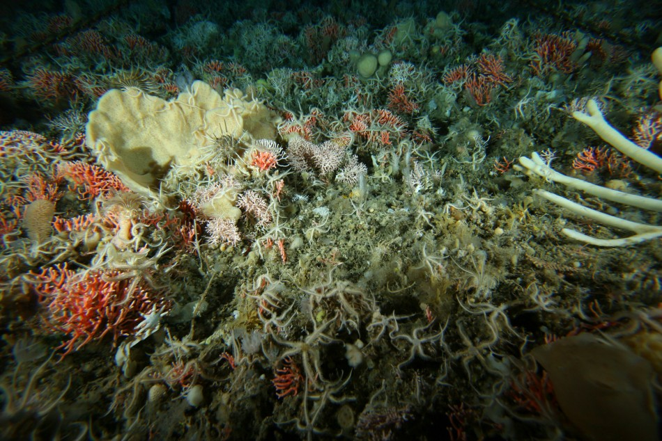 Brightly coloured coralline, bryozoans and sponges on ocean floor on Antarctic continental shelf