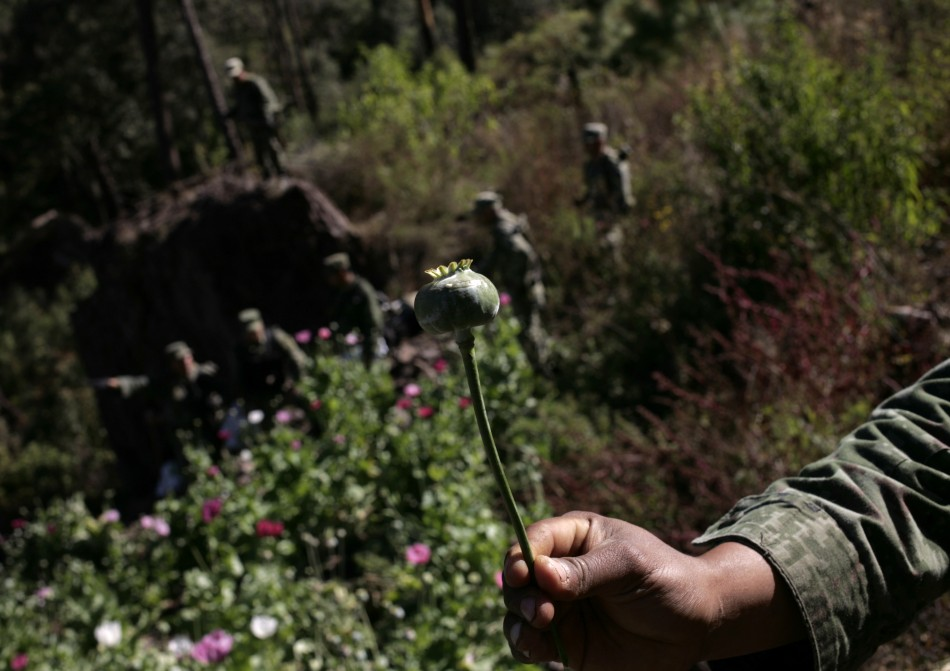 A soldier shows a poppy bulb used to make heroin.
