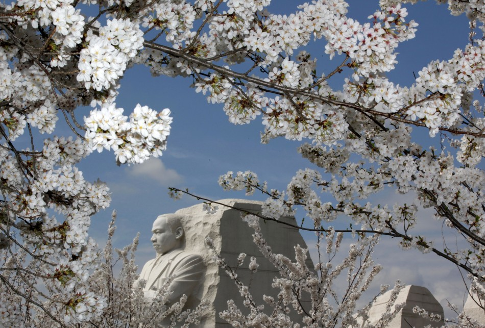 Cherry blossom flowers surround the Martin Luther King, Jr. National Memorial in Washington