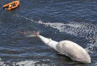 Dead Bryde\'s whale