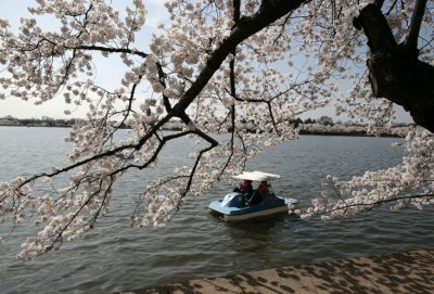 he cherry blossom trees in full bloom around the Tidal Basin in Washington
