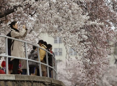 A woman takes a photograph of a cherry blossom tree on the Tidal Basin in Washington