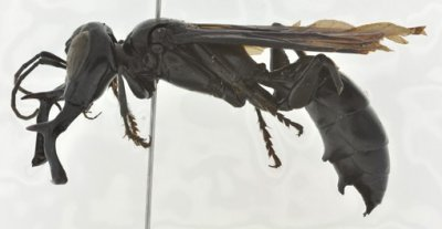 King Of Wasp Discovered In Indonesia