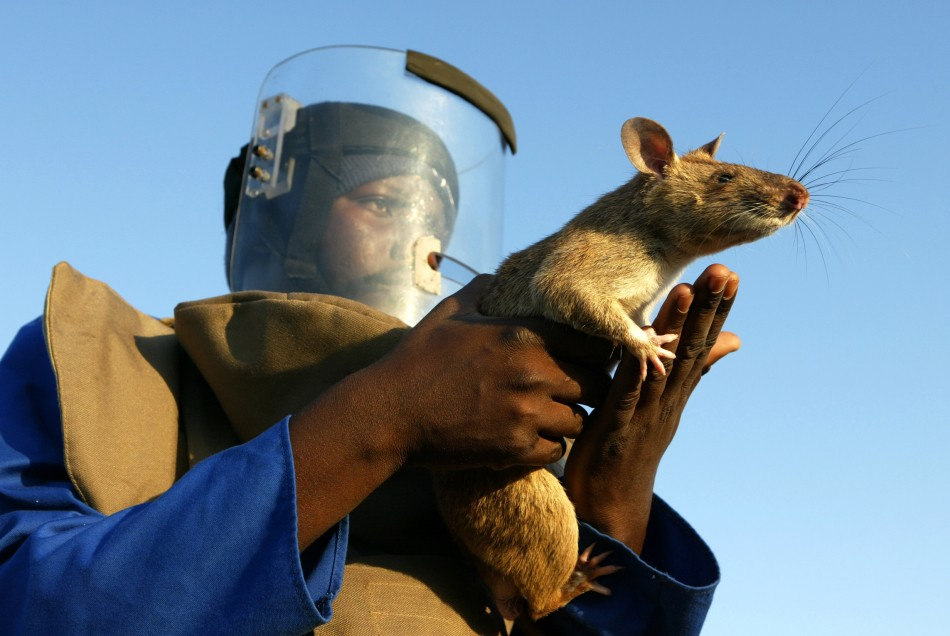 Gambian pouch rats