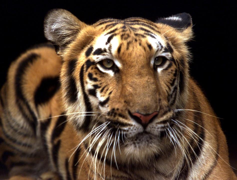 Royal Bengal Tiger Sundarbans