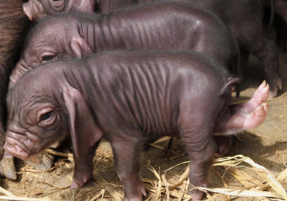 Five-legged piglet