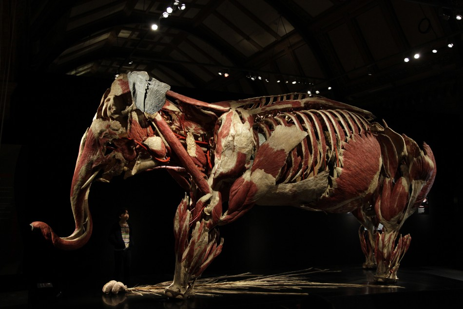 Animals Inside Out: Gunther von Hagen Showcases Exclusive Plastinated Specimens