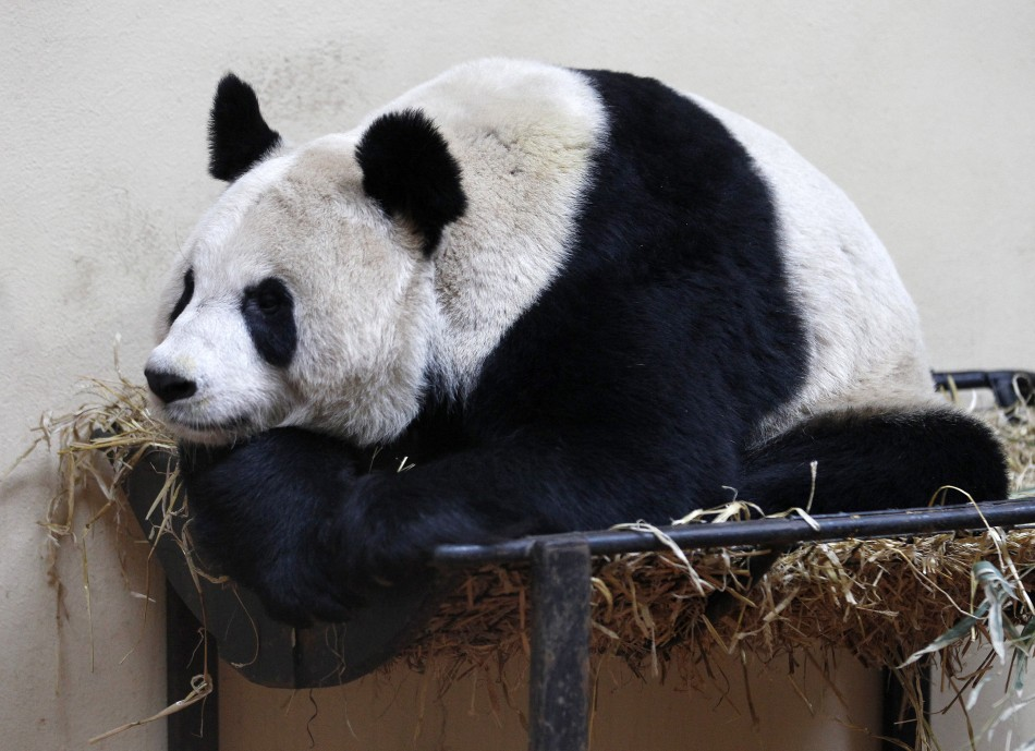 2nd LD Writethru: Britain's only female giant panda pregnant