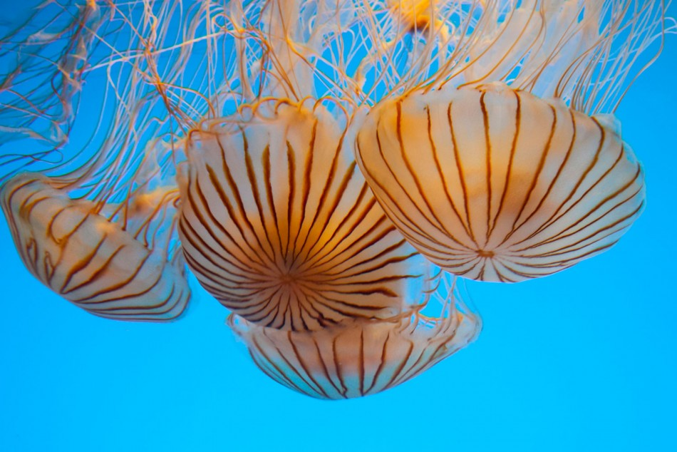 Jellyfish Blooming in Seas Around The World Causes Signal At Human Activities  Global Warming