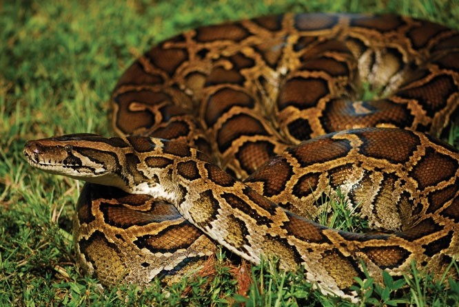 Invasive Burmese Python Pose Increasing Threat to Bird Species