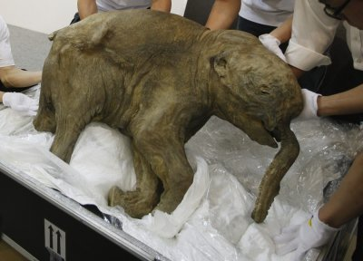 Worlds Well Preserved Baby Mammoth Goes on Display