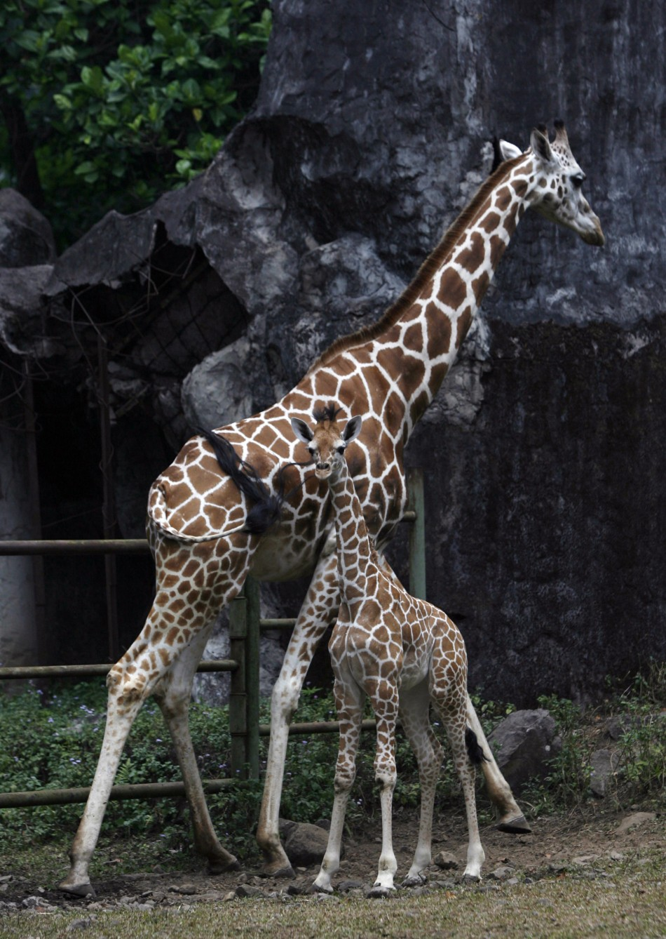 Giraffes Age Can Be Estimated From The Colour Of Their Coat
