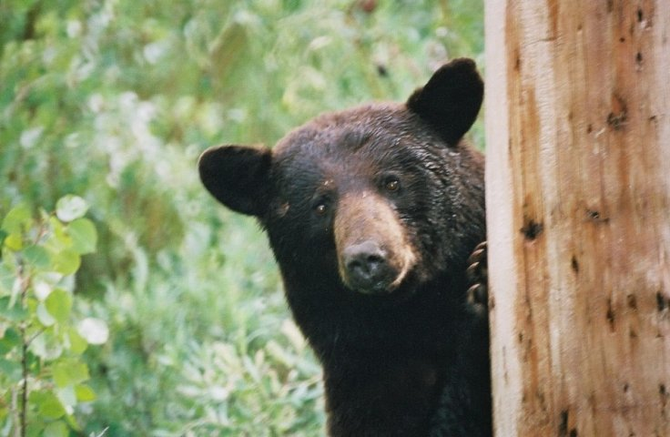 Bears get high
