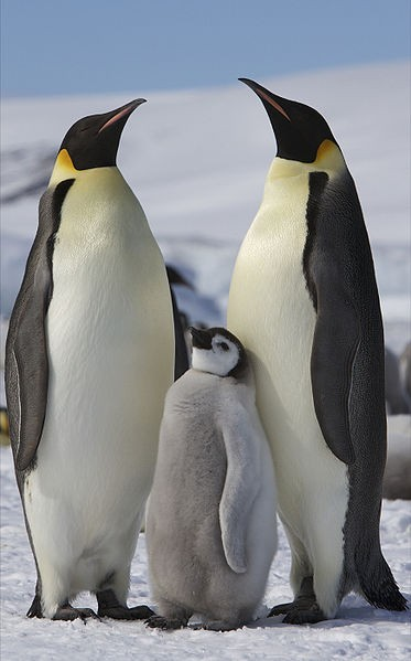 Space pictures reveal more emperor penguins in antartica - Pingu le pingouin ...
