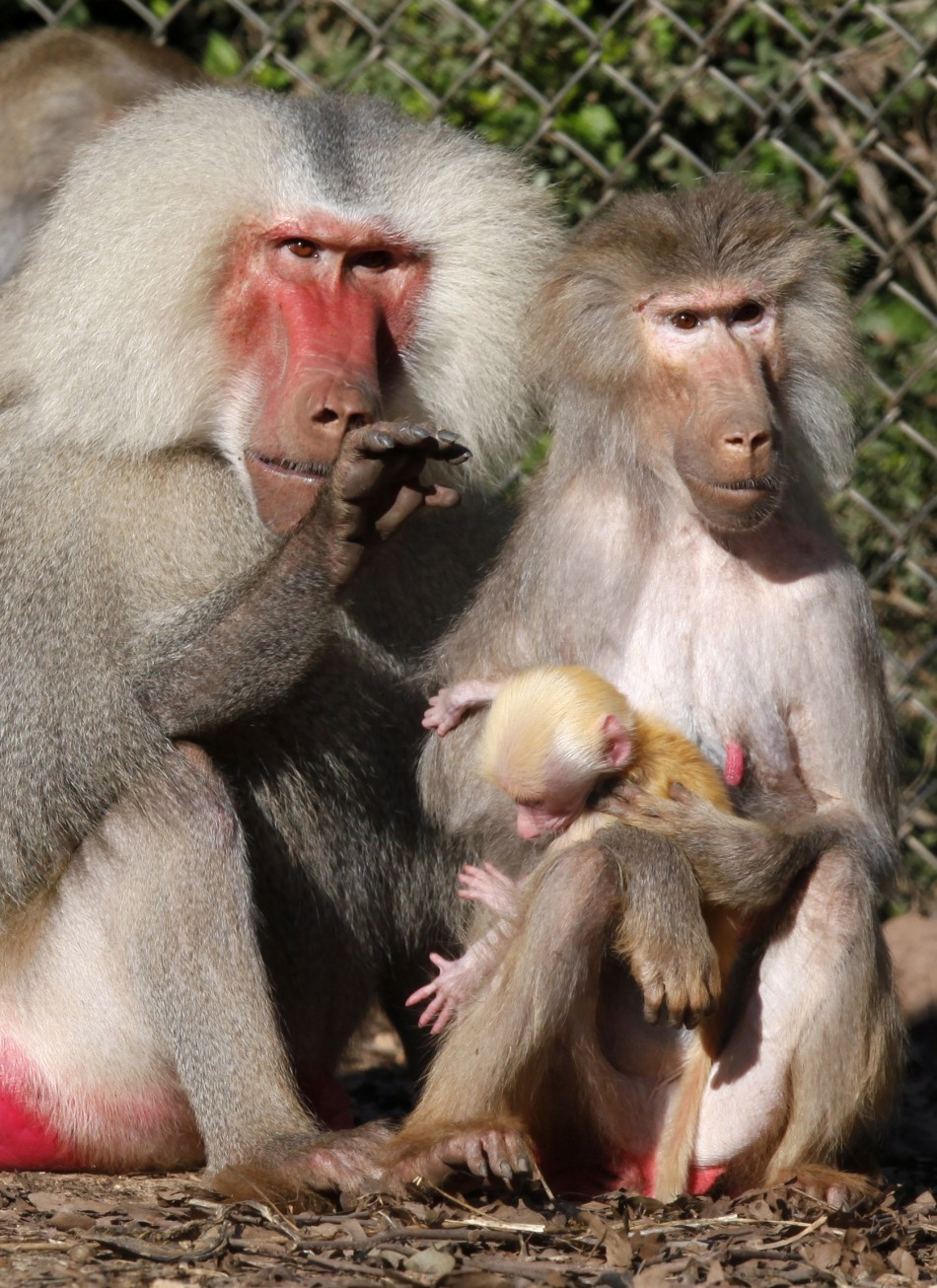 Baboons Can Recognise English Words