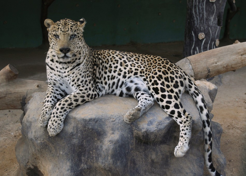 Male Leopard with Strawberry Locks Discovered for First ...