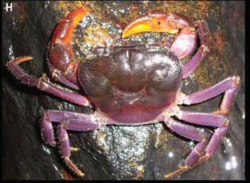 Rare Purple Crab Species Identified in Threatened Palawan Biodiversity