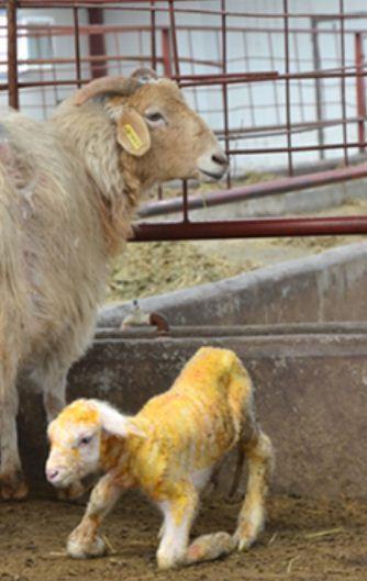 Peng Peng: World's First 'Handmade' Cloned Sheep Born In China