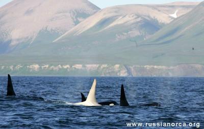 White Orca