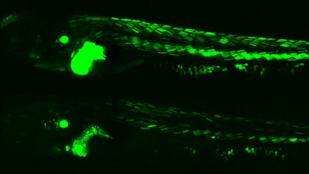 Green Glowing Zebrafish Provides Fresh Insights about the Hazardous Health Effects of Pollution