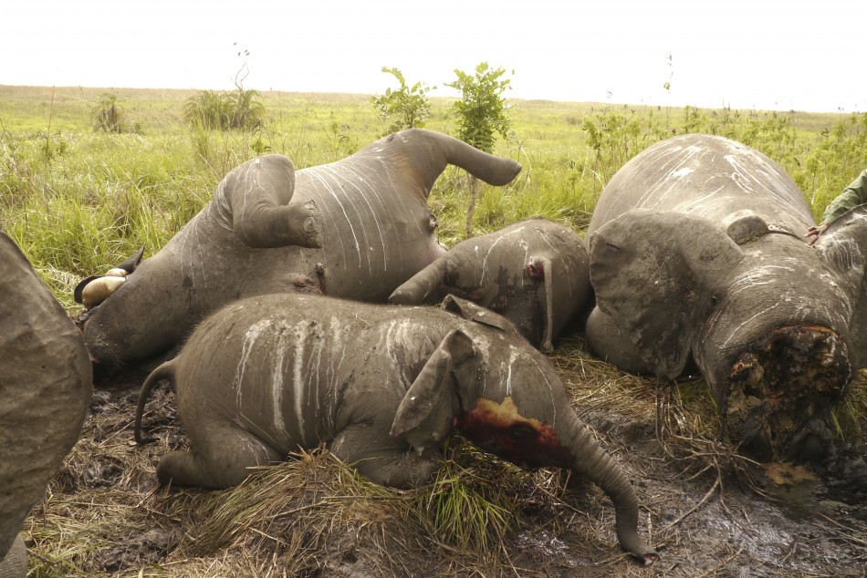 The carcasses of some of the 22 elephants slaughtered in a helicopter-bourne attack lie on the ground in the Democratic Republic of Congo's Garamba National Park, in this undated handout picture released by the DRC Military.