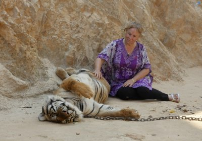 Tiger Temple in Thailand a Growing Tourism Hot Spot Where Wild Stays With the Monks