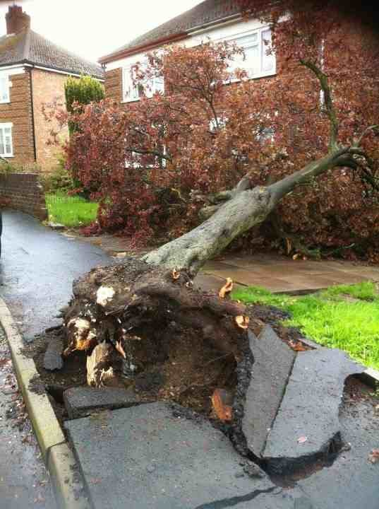 Uprooted tree: the result of the Rugby Tornado