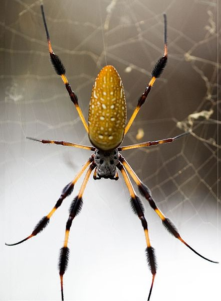 A golden silk orb spider