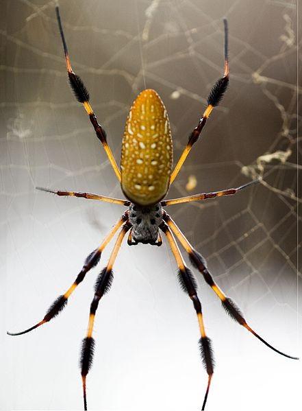 A golden silk orb spider