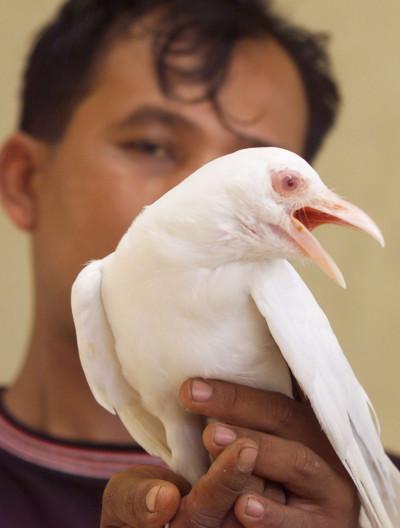 Albino Javanese Starling