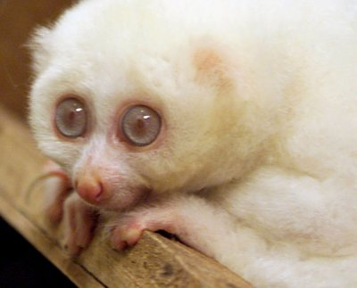 Male albino Slow Loris