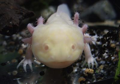 Rare albino axolotl