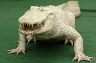 White albino alligator