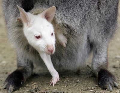A albino baby wallaby